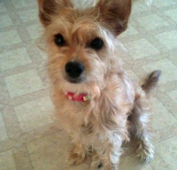450x588px Fabulous Yorkie Mix Picture Gallery Picture in Dog