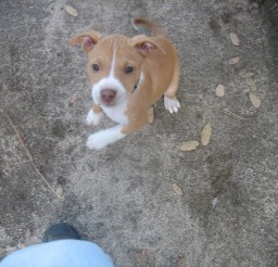 640x480px Breathtaking Baby Pitbulls Photo Collection Picture in Dog