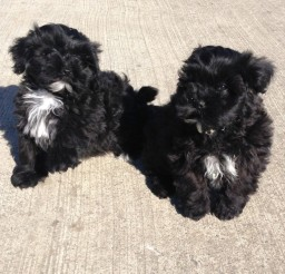 1280x1154px Beautiful Black Shih Poo Puppies Picture Gallery Picture in Dog