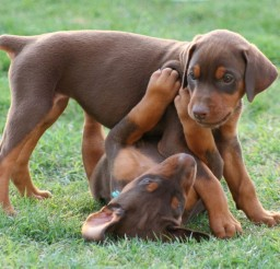 750x579px Gorgeous Red Doberman Puppies Photo Collection Picture in Puppies