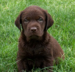 950x574px Lovely Chocolate Lab Puppies Image Gallery Picture in Puppies