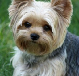 586x880px Wonderful Puppy Cut For Yorkies Photo Gallery Picture in Small Puppies