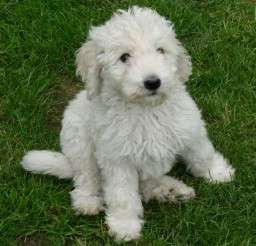 1269x1279px Beautiful Goldendoodle Puppies Photo Collection Picture in Puppies