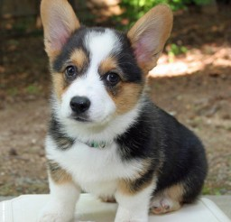 450x504px Lovely Corgi Husky Puppies Picture Gallery Picture in Puppies