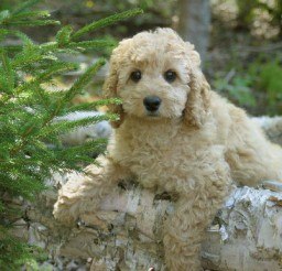 500x386px Beautiful Labradoodle Puppy Image Gallery Picture in Dog