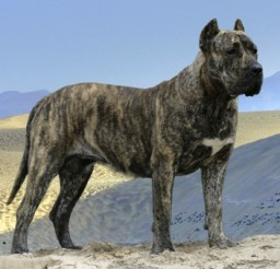 400x338px Charming Presa Canario Puppies Photo Gallery.jpg Picture in Puppies
