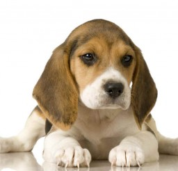 800x518px Stunning Beagle Image Collection Picture in Dog
