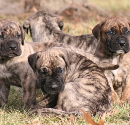 1200x800px Beautiful Presa Canario Puppy Image Gallery Picture in Dog