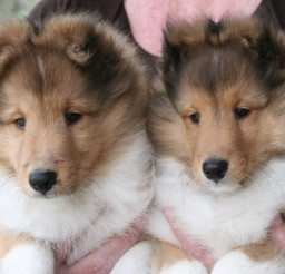 905x641px Charming Mini Sheltie Photo Gallery Picture in Small Puppies