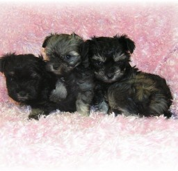 720x540px Fabulous Teacup Puppies Picture Gallery Picture in Puppies