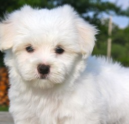1280x1025px Breathtaking Maltese Puppies Image Collection Picture in Puppies