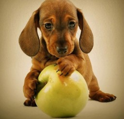 500x523px Gorgeous Weiner Dog Puppies Image Gallery Picture in Puppies