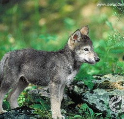 1280x1024px Gorgeous Wolf Pup Picture Collection Picture in Dog