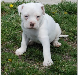 816x805px Adorable American Bulldog Mix Puppies Photo Album Picture in Puppies