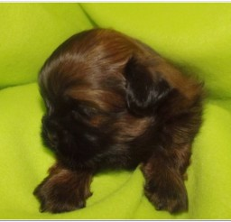 816x724px Adorable Brown Shih Tzu Puppies Photo Album Picture in Puppies