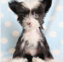 816x994px Adorable Chinese Crested Rescue Image Album Picture in Dog