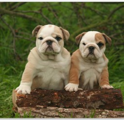 816x516px Adorable French Bulldog Image Gallery Picture in Dog