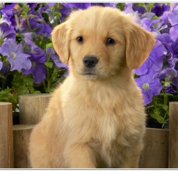 816x516px Adorable Labradors Puppies Picture in Puppies