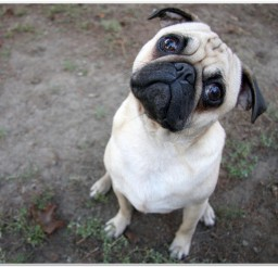 816x616px Adorable Pug Puppy Photo Album1 Picture in Small Puppies