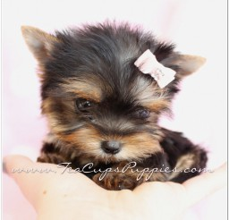 816x1021px Adorable Tea Cups Puppies Photo Album Picture in Puppies