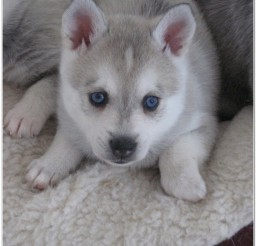 816x1081px Alaskan Klee Kai Sale Picture in Dog