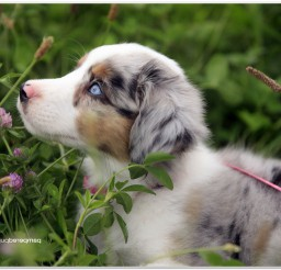 816x616px Australian Shepherd Picture Collection Picture in Dog