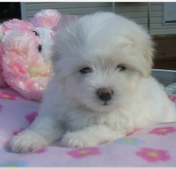 816x694px Awesome Coton De Tulear Puppies Picture in Puppies