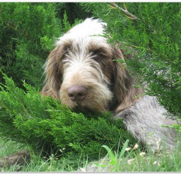 816x616px Awesome Dog Breed Spinone Picture in Dog