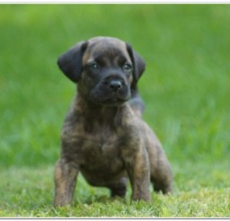 816x465px Awesome Presa Pups For Sale Picture in Dog