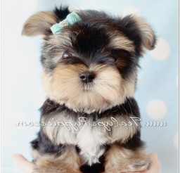 816x1115px Awesome Teacups Puppies And Boutique Picture in Puppies