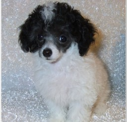 816x1048px Awesome Tiny Teacup Poodle For Sale Picture in Dog