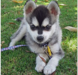 816x822px Awesome Toy Alaskan Klee Kai For Sale Picture in Dog