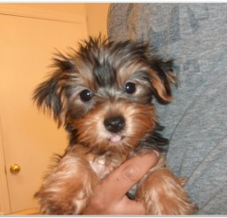 816x615px Awesome Yorkie Puppies Image Collection Picture in Puppies
