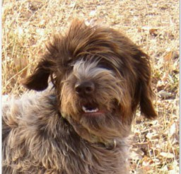 816x888px Beautifulwirehaired Pointing Griffons Picture in Dog