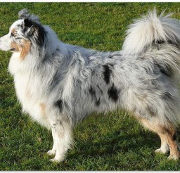 816x626px Black Australian Shepherd Picture in Dog