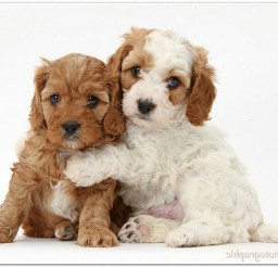 816x540px Cute Red And Red and white Cavapoo Puppies, 5 Weeks Old, Hugging Picture in Puppies