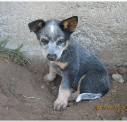 816x617px Blue Heeler Puppies Photo Gallery Picture in Puppies