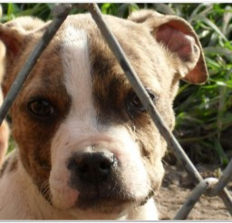 816x616px Blue Nose Pitbulls Puppy Picture in Small Puppies