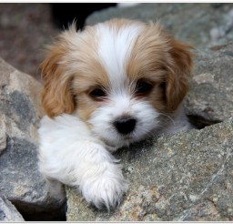 816x662px Cavachon Puppies For Adoption Picture in Puppies