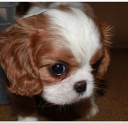 816x549px Cavalier King Charles Image Collection Picture in Dog
