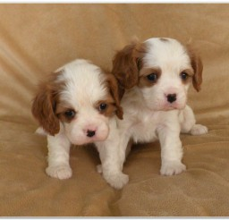 816x573px Cavalier King Charles Spaniel Picture Collection Picture in Dog