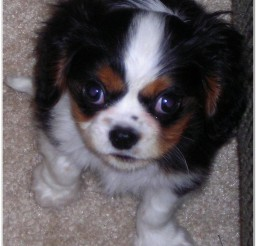 816x997px Cavalier King Charles Spaniel Puppies Image Collection Picture in Puppies