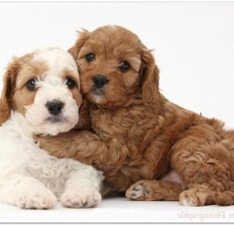 816x606px Cute Red And Red and white Cavapoo Puppies, 5 Weeks Old, Hugging Picture in Puppies