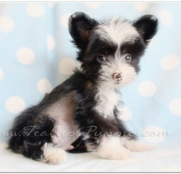 816x560px Chinese Crested Breeders Image Gallery Picture in Dog