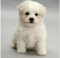 816x876px Cute Bichon Frise Puppy On Grey Background Picture in Puppies