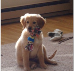 816x1040px Cute Golden Puppies Picture Album Picture in Puppies
