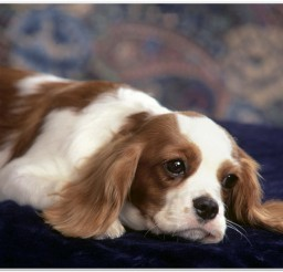 816x616px Cute King Charles Spaniel Puppy Picture Collection Picture in Small Puppies