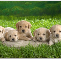 816x466px Cute Labs Puppies Image Collection Picture in Puppies