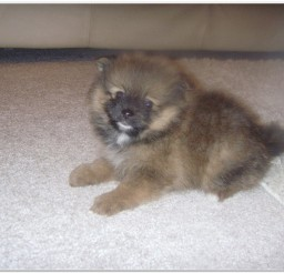 816x616px Cute Mini Pomeranian Puppies Image Album Picture in Puppies