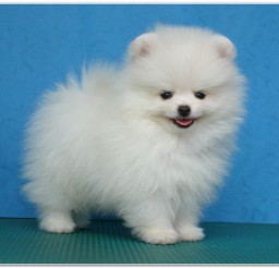 816x547px Cute Mini Pomeranian Puppies Picture Collection Picture in Puppies